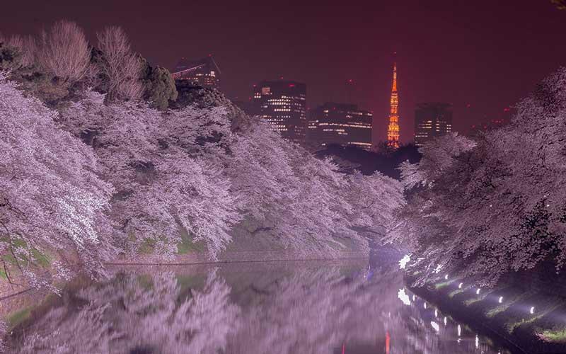 千鳥ヶ淵縁道夜桜