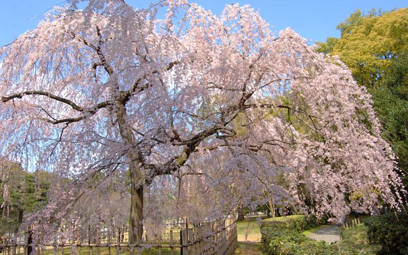 秋色桜(しゅうしきざくら)